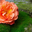 Single rose flower lying on moss stone surface — Stock Photo #13551776