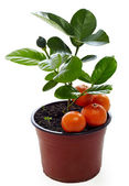 Young potted mandarin plant with immature and ripe fruits isolated on white — Stock Photo