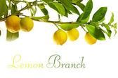 Rama con frutas frescas limón maduro, aislado en blanco — Foto de Stock