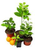 Grupo de varios jóvenes en macetas de plantas de cítricos aislado en blanco — Foto de Stock