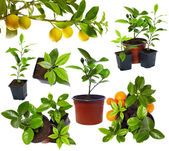 Group of young potted citrus sprouts isolated on white — Stock Photo