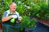Happy senior man, gardener cares for citrus plants in greenhouse — Stock Photo