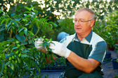 Gardener cares for jujube tree in private nursery — Stock Photo