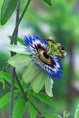 Vackra blommiga passionsblomma. Passera? flora — Stockfoto