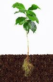 Cafeeiro jovem com raízes expostas no solo — Foto Stock