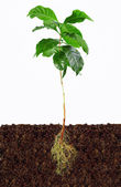 Young coffee plant with exposed roots in soil — Stock Photo