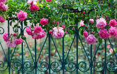 Pink climbing rose with dew on blue forged fence in summer garden — Stock Photo