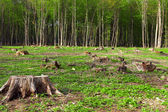 Deforestation of beautiful pristine forest areas — Stock Photo