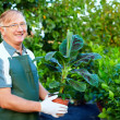 Smiling senior gardener holding banana plant in greenhouse — Stock Photo