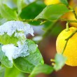 Abnormal weather for tropical lemon plant — Stock Photo