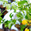 Abnormal weather for tropical lemon tree — Stock Photo