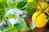Abnormal weather for tropical lemon plant — Stock fotografie