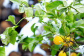 Abnormal weather for tropical lemon tree — Foto Stock