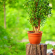 Beautiful Crassula tree, on colorful background - Photo