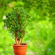 Beautiful Crassula tree, on colorful background — Stock Photo #25043347