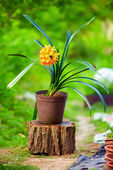 Blomming potted Clivia plant, colorful outdoors — Stock Photo