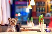 Yorkshire terrier enjoying dessert in cafe — Stock Photo