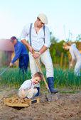 Family planting potatoes in vegetable garden — Stock Photo