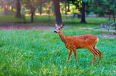 Roe deer on clearing — Stockfoto
