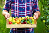 Gardener holding a crate of summer fruit, ripe pears and plums — Stock Photo