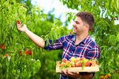 Young man harvesting peaches in fruit garden — Stock Photo