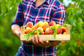Gardener holding a crate of summer fruit, ripe peaches — Stock Photo