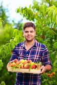 Gardener holding a crate of peach fruit, harvesting — Stock Photo