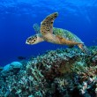Sea turtle — Stock Photo #13913676