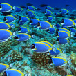 Shoal of powder blue tang in the coral reef — Stock Photo #14298151