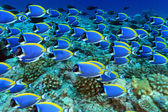Shoal of powder blue tang in the coral reef — Stock Photo