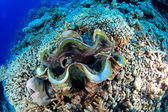 Giant clam — Foto de Stock
