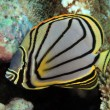 Scrawled butterflyfish — Stock Photo