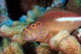 Arc-eye hawkfish — Stock Photo