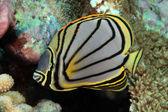 Scrawled butterflyfish — Stock Photo