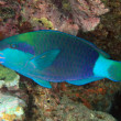 Daisy parrotfish — Stock Photo
