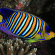Regal angelfish — Stock Photo #17346245