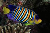 Regal angelfish — Stock Photo