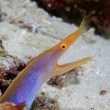 Ribbon eel — Stock Photo