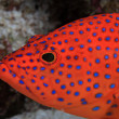 Stock Photo: Coral hind grouper