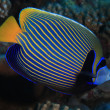 Emperor angelfish — Stock Photo #18227857