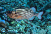 Shadow soldierfish — Stock Photo