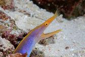 Ribbon eel — Stock Photo