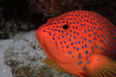 Coral hind grouper — Stock Photo