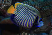 Emperor angelfish — Stock Photo