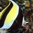 Moorish idol — Stock Photo