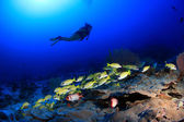 Coral reef and scuba diver — Stock Photo