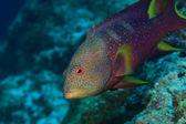 Lyretail grouper — Stock Photo
