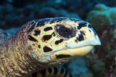 Hawksbill sea turtle — Stock Photo