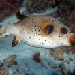 Black Spotted Puffer (Arothron nigropunctatus) — Stock Photo