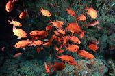 Whiteedged soldierfish (Myripristis murdjan) — Foto Stock